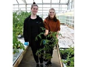 Skuleelevane Jenny Elise Opstad t.v. og Silje Ræstad koser seg på jobb ved Gjermundnes gartneri. Dei fortel at tomatplantar går det mykje av.