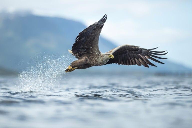 Ørn som tar fisk